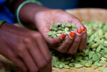 Woman's hands sorting cardamom pods
