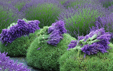 Freshly harvested lavender in bunches on top of the trimmed plants